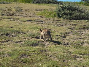 Kangaroo on the Moonee Beach Headland